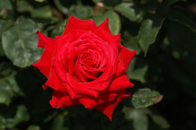 rose_osaka.jpg